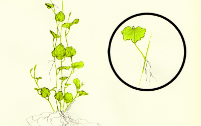 Encres | Botanique | Cardamine Lyrata