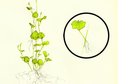 Botanique | Cardamine lyrata