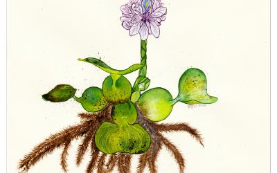 Encres | Botanique | Eicchornia Crassipes