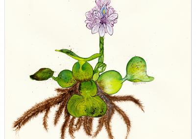 Botanique | Eicchornia Crassipes